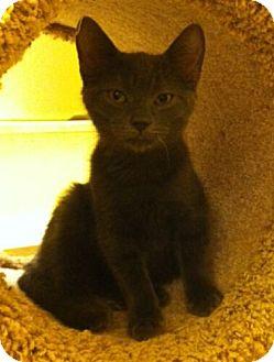 Domestic Shorthair Kitten for adoption in Reston, Virginia - Sanson