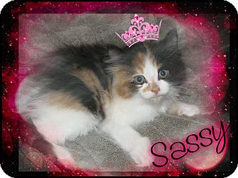 Domestic Longhair Kitten for adoption in Washington, D.C. - Sassy
