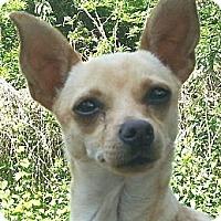 Adopt A Pet :: Minchi - Orlando, FL