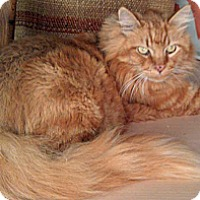 Domestic Longhair Cat for adoption in Mountain View, California - Gilbert