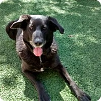 Labrador Retriever Mix Dog for adoption in Valley Center, California - Amy