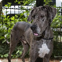 Great Dane Dog For Adoption In Baton Rouge Louisiana Kevin