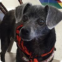 Adopt A Pet :: Braxi - Muskegon, MI