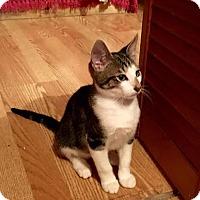 Adopt A Pet :: Sherlock Holmes - Tampa, FL
