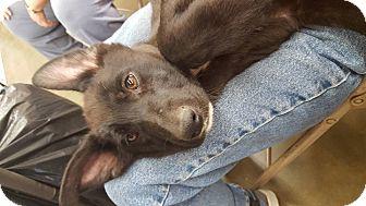 Anatolian Shepherd Mix Puppy for adoption in Fresno, California - Twinkle
