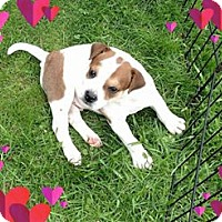 Adopt A Pet :: WEEBLE (BULLDOG/SHARPEI/PUG) - WOODSFIELD, OH
