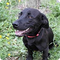 Adopt A Pet :: Zachary - Westminster, CO