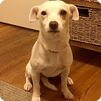 Chihuahua/Jack Russell Terrier Mix Dog for adoption in Birmingham, Alabama - Roxy
