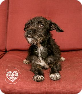 Poodle (Standard)/Terrier (Unknown Type, Small) Mix Puppy for adoption in Inglewood, California - Jazzy