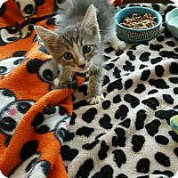 Domestic Shorthair Kitten for adoption in Baltimore, Maryland - Squeaks