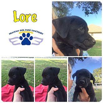 Boxer Puppy for adoption in Folsom, Louisiana - Lore