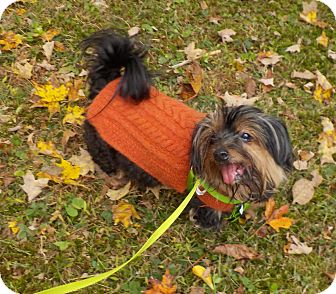 Yorkie, Yorkshire Terrier/Silky Terrier Mix Dog for adoption in Sparta, New Jersey - Libby