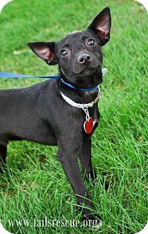 Chihuahua Mix Dog for adoption in Maple Grove, Minnesota - Nashville