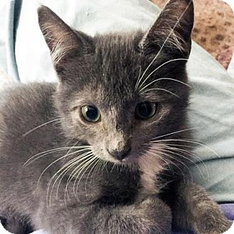 Domestic Shorthair Kitten for adoption in Austin, Texas - Xander