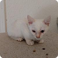 Adopt A Pet :: Snowflake - El Paso, TX