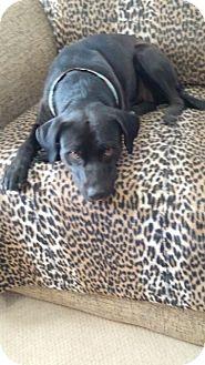 Labrador Retriever/American Staffordshire Terrier Mix Dog for adoption in Englewood, Colorado - FIONNA