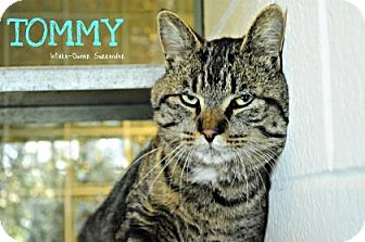 Domestic Shorthair Cat for adoption in Hamilton, Ontario - Tommy