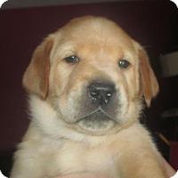 Adopt A Pet :: Ginny: Maisy's Litter - Island Lake, IL
