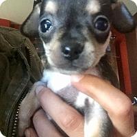 Adopt A Pet :: Chopper (V) - Santa Ana, CA