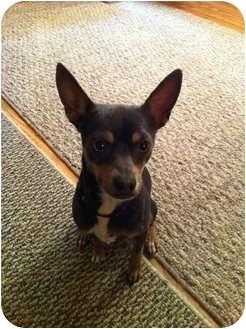 Chihuahua Mix Dog for adoption in Mesa, Arizona - Blake