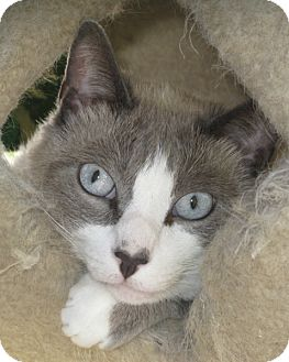 Snowshoe Cat for adoption in Brea, California - Buddha