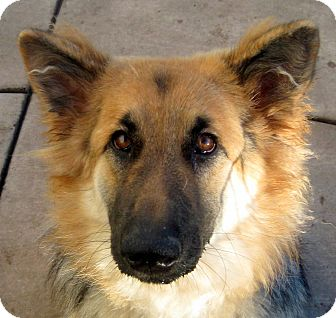 German Shepherd Dog Dog for adoption in Oakley, California - Amelia