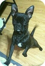 French Bulldog/Boston Terrier Mix Puppy for adoption in Columbus, Ohio - Frenchie