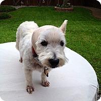 Adopt A Pet :: Millie - Carrollton, TX