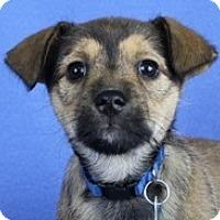 Adopt A Pet :: Dharma - Minneapolis, MN