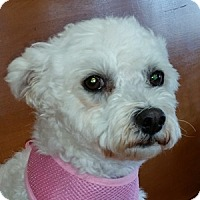 Adopt A Pet :: Lindy - La Costa, CA