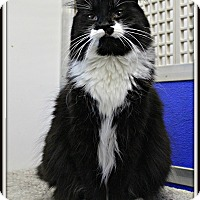 Domestic Mediumhair Cat for adoption in Dunkirk, New York - Dante