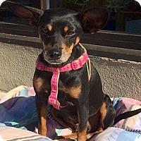 Adopt A Pet :: Stellar - Austin, TX