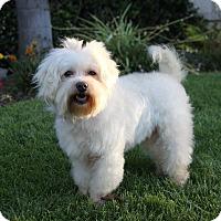 Adopt A Pet :: LIBBY - Newport Beach, CA