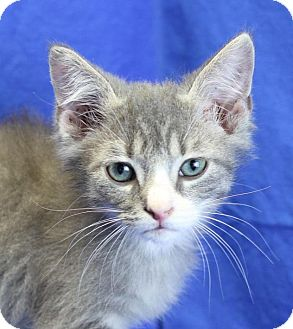 Domestic Shorthair Kitten for adoption in Winston-Salem, North Carolina - Cam