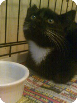 Domestic Shorthair Cat for adoption in Alliance, Ohio - NO NAME - Neutered
