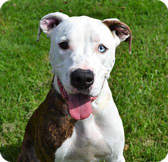Pit Bull Terrier/Labrador Retriever Mix Dog for adoption in Michigan City, Indiana - Rickett