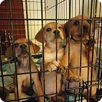Adopt A Pet :: Gina - Danbury, CT
