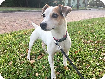 Jack Russell Terrier Dog for adoption in Terra Ceia, Florida - CAPONE