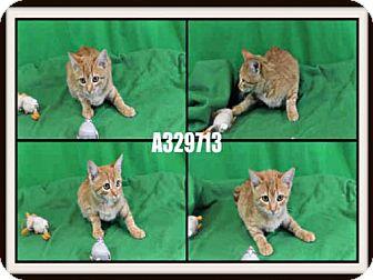 Domestic Mediumhair Kitten for adoption in St. Peters, Missouri - PUMPKIN