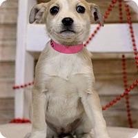Adopt A Pet :: Calypso ADOPTION PENDING - Waldorf, MD