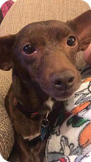 Dachshund/Chihuahua Mix Dog for adoption in Thomasville, North Carolina - Coco