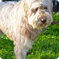 Wheaten Terrier/Poodle (Standard) Mix Dog for adoption in Penngrove, California - Kris