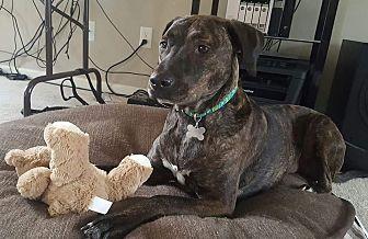 Labrador Retriever/Hound (Unknown Type) Mix Dog for adoption in Aurora, Ohio - Kennedy