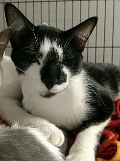 Domestic Shorthair Cat for adoption in Saginaw, Michigan - Henry