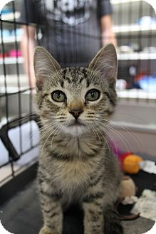 Domestic Shorthair Kitten for adoption in Santa Monica, California - Laurel