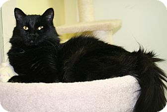 Domestic Longhair Cat for adoption in Edmonton, Alberta - Koal