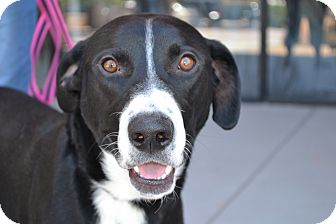 Labrador Retriever Mix Dog for adoption in Gilbert, Arizona - Panda