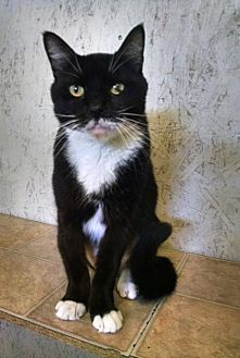 Domestic Shorthair Cat for adoption in St. James City, Florida - Blackie
