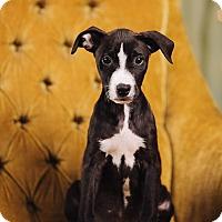 Adopt A Pet :: Asiago - Portland, OR