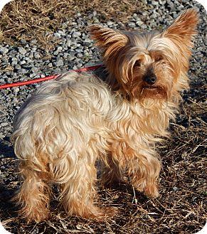 Yorkshire Terrier Nj Sussex, NJ - Yo...